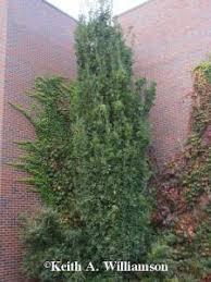 Boulder Landscaping Ideas Columnar Oak Is August 2017 Plant Of The Month For Boulder