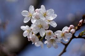 Cherry Blossom Tree Facts by The History Behind D C U0027s Cherry Blossoms American Forests