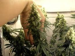 cfl lights for growing weed growing weed 7 weeks into flowering harvest cfl grow bud