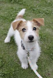 haircut ideas for long hair jack russell dogs 16 reasons jack russells are not the friendly dogs everyone says