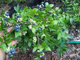 exterior backyard blueberry plants specializing in organically