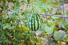 when to harvest a ripe watermelon weed u0027em u0026 reap