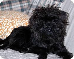 affenpinscher texas paisley adoption pending adopted puppy little rock ar