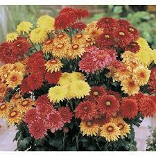 shop 14 oz chrysanthemum l2746hp at lowes com
