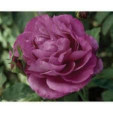 Lavender Roses Lavender Rose Bushes Trees U0026 Bushes The Home Depot