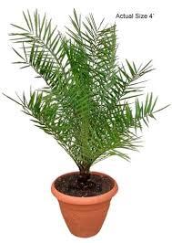sylvester palm tree price sylvester date palm tree date palm sylvestris