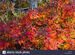 native plants in alberta wild rose bush rosa acicularis in fall colour yoho national park