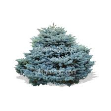 picea pungens glauca png