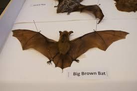 happy halloween bats nature nhmla