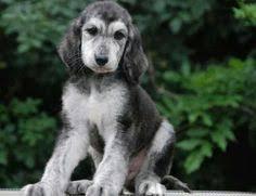 afghan hound puppies ohio it u0027s my cakeday so here u0027s my neighbor u0027s afghan hound puppy