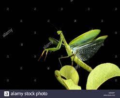 praying mantis with wings spread stock photo 105371668 alamy