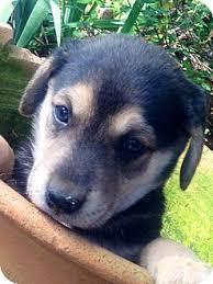 australian shepherd mixed with husky baxter adopted puppy 02 marlton nj australian shepherd