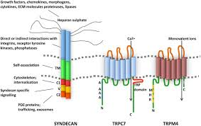 proteoglycans ion channels and cell u2013matrix adhesion biochemical