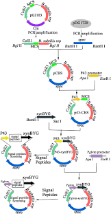 optimal secretion of alkali tolerant xylanase in bacillus subtilis