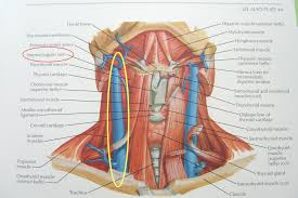pictures back ofneck muscles and veins human anatomy diagram