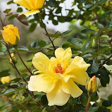 Yellow Climbing Flowers - climbing rose