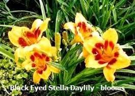 stella daylily black eyed stella daylily hemerocallis