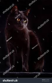 halloween dark background black cat on dark background domestic stock photo 72138862
