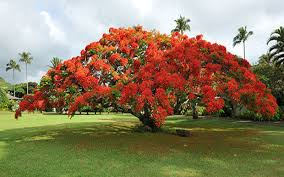 royal poinciana tree for sale cape coral