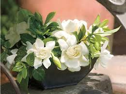 gardenia flower go ahead plant those gardenias southern living