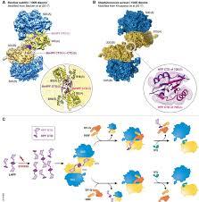 survivor ribosome edition the embo journal