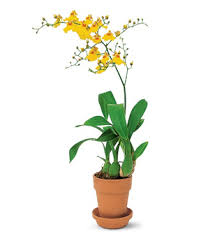 oncidium orchid yellow oncidium orchid at from you flowers
