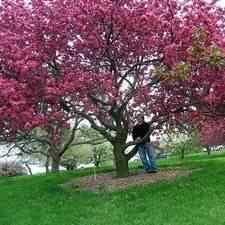 buy pink brandywine flowering crabapple tree pink brandywine
