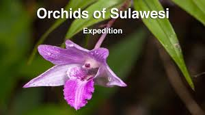 orchid pictures orchids of sulawesi expedition