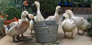 where to buy organic duck feed duckling feed tyrant farms