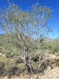 native desert plants ironwood trees u2013 arizona desert xeriscape