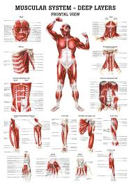 Human Anatomy Muscle The Muscular System Deep Layers Front Laminated Anatomy Chart
