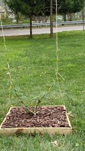 homemade hops trellis we need your help u2014 the brew shop