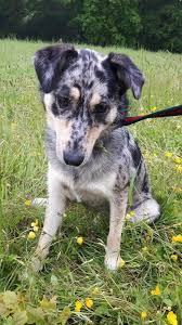 sheltie x australian shepherd sharn u2013 2 year old female australian shepherd cross collie dog for