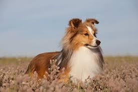 belgian sheepdog dogs 101 dog 101 dog breeds shetland sheepdog