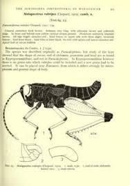 acridoidea orthoptera madagascar iii pyrgomorphidae