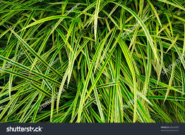 Spider Plant All Beautiful Leaves Spider Plant St Stock Photo 83618800
