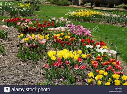 flower bed of colorful tulips in the dallas arboretum park texas