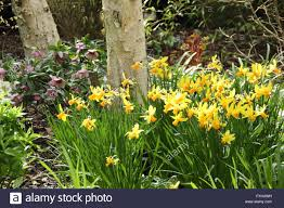 silver birch betula pendula underplanted with daffodils