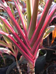 ti plant polynesian produce stand kiwi ti plant cordyline terminalis