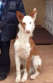resume template accounting australian kelpie dog temperament by breed xarnego valenciano google search dog breeds pinterest dog