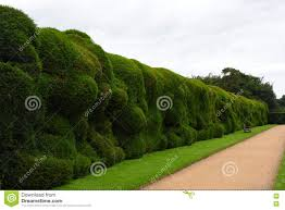 wibbly wobbly hedge montacute house somerset england stock photo