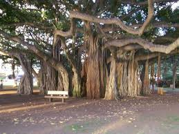 Hawaii travel trunks images 55 best our crazy cool rare palms images palms jpg