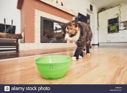 domestic pets hungry cat bowl food