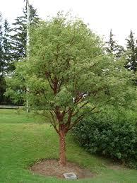 garden outdoor paperbark maple tree amur maple tree
