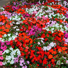 impatiens flowers impatiens seeds f1 mix view all flower seeds flower