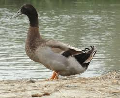 khaki campbell duck farming is really very profitable especially