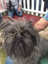 affenpinscher judging list 19 dogs that don u0027t care about society u0027s view of beauty