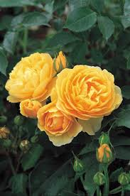Yellow Climbing Flowers - rose u0027graham thomas u0027 ausmas