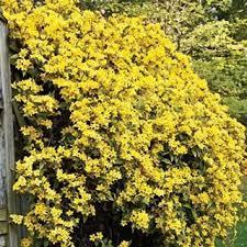 Most Fragrant Jasmine Plant - best 25 jasmine plant for sale ideas on pinterest purple