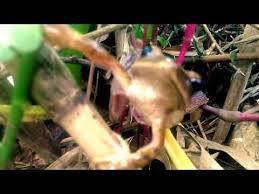 Serum Ular ular ber kepala katak wawwww